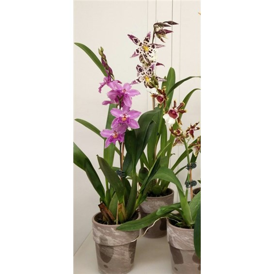 5inch-exotic-orchids-for-them-by-flowerama